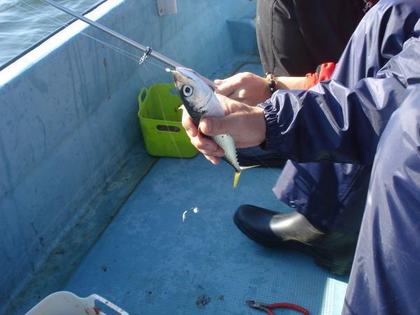 浜名湖で釣れた鯖(サバ)