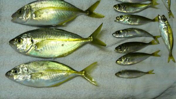 【浜名湖】新居海釣り公園で釣れた高級魚『シマアジ』の幼魚