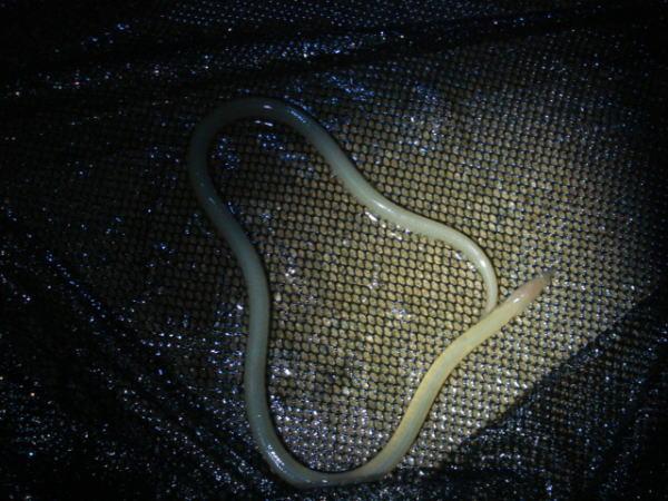 台風直前の浜名湖で獲れた魚『ダイナンウミヘビ』