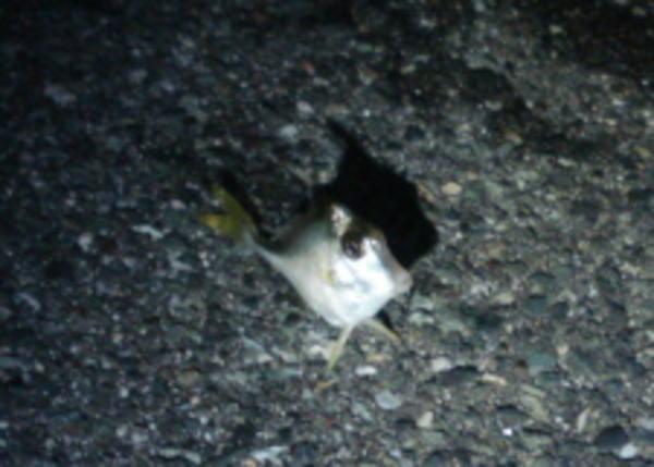 台風直前の浜名湖で獲れた魚『ギマ』