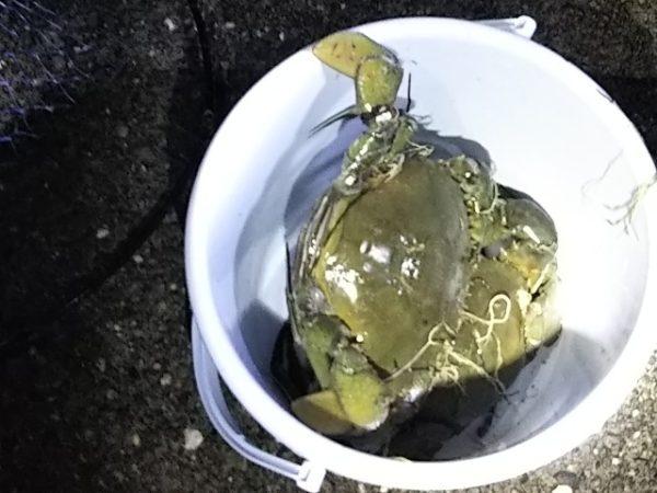 台風前の浜名湖で獲れた幻のカニ「どうまん蟹」